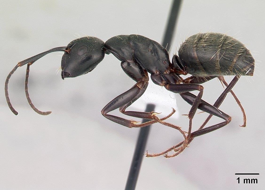 Identifying Ants of Wisconsin