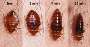 eat bed bug milwaukee feeding