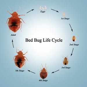 bed bug photo cycle life