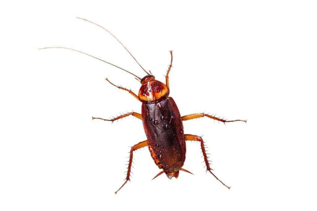 Roach Crwawling