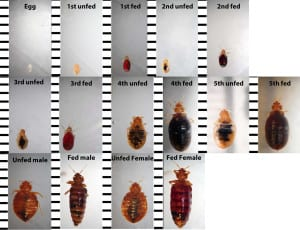 timeline of bed bug development